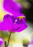 Honey bee. Gathering pollen of the pink flowers of Portulaca (Purslane, Moss Rose Royalty Free Stock Photos