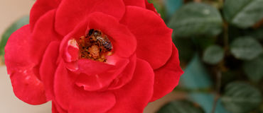 Honey Bee Gathering Pollen from a Red Rose-top view Stock Image