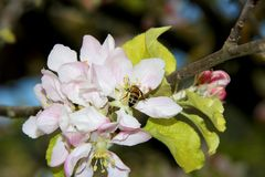 The honey bee gathers nectar from the flower of the Apple tree. Bee collecting pollen. The honey bee gathers nectar from the flower of the Apple tree. Honey Bee royalty free stock photo
