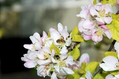 The honey bee gathers nectar from the flower of the Apple tree. Bee collecting pollen. The honey bee gathers nectar from the flower of the Apple tree. Honey Bee stock photo