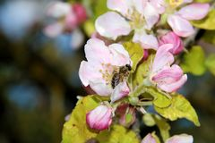 The honey bee gathers nectar from the flower of the Apple tree. Bee collecting pollen. The honey bee gathers nectar from the flower of the Apple tree. Honey Bee royalty free stock photos
