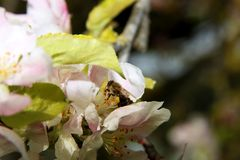 The honey bee gathers nectar from the flower of the Apple tree. Bee collecting pollen. The honey bee gathers nectar from the flower of the Apple tree. Honey Bee royalty free stock images