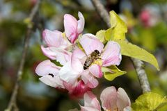 The honey bee gathers nectar from the flower of the Apple tree. Bee collecting pollen. The honey bee gathers nectar from the flower of the Apple tree. Honey Bee stock photos