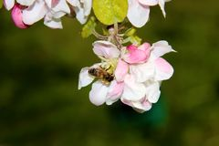 The honey bee gathers nectar from the flower of the Apple tree. Bee collecting pollen. The honey bee gathers nectar from the flower of the Apple tree. Honey Bee royalty free stock image
