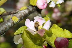 The honey bee gathers nectar from the flower of the Apple tree. Bee collecting pollen. The honey bee gathers nectar from the flower of the Apple tree. Honey Bee stock image
