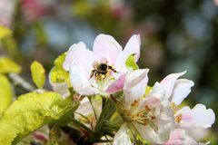The honey bee gathers nectar from the flower of the Apple tree. Bee collecting pollen. The honey bee gathers nectar from the flower of the Apple tree. Honey Bee stock images