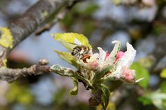 The honey bee gathers nectar from the flower of the Apple tree. Bee collecting pollen. The honey bee gathers nectar from the flower of the Apple tree. Honey Bee royalty free stock photography