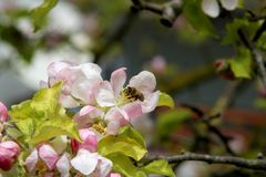 The honey bee gathers nectar from the flower of the Apple tree. Bee collecting pollen. The honey bee gathers nectar from the flower of the Apple tree. Honey Bee stock photography