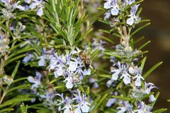 The honey bee gathers nectar from the flower of the Rosemary plant-Rosmarinus officinalis. Bee collecting pollen. The honey bee gathers nectar from the flower of stock photography
