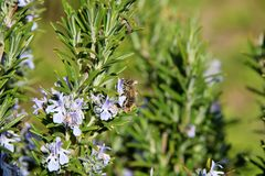 The honey bee gathers nectar from the flower of the Rosemary plant-Rosmarinus officinalis. Bee collecting pollen. The honey bee gathers nectar from the flower of royalty free stock images