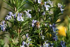 The honey bee gathers nectar from the flower of the Rosemary plant-Rosmarinus officinalis. Bee collecting pollen. The honey bee gathers nectar from the flower of stock photo