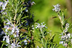 The honey bee gathers nectar from the flower of the Rosemary plant-Rosmarinus officinalis. Bee collecting pollen. The honey bee gathers nectar from the flower of stock image