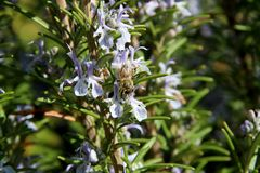 The honey bee gathers nectar from the flower of the Rosemary plant-Rosmarinus officinalis. Bee collecting pollen. The honey bee gathers nectar from the flower of royalty free stock photo