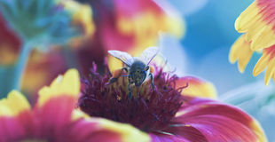 A Honey Bee Gathers Pollen a Blanket Flower Stock Image