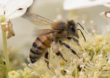 A honey bee gathers pollen Stock Image
