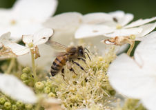 A honey bee gathers pollen Stock Photo