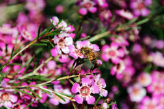 Honey Bee on Geraldton Wax Flower. The dainty brown honey bee is collecting pollen from the sticky five petalled pink Australian Geraldton Wax flower on a sunny royalty free stock photography