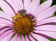 Honey bee getting nectar from purple coneflower Royalty Free Stock Photo