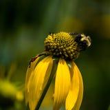 Honey Bee Getting Pollen From una Susan observada negro fotografía de archivo