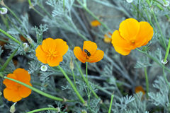 Honey Bee on golden california poppy flower Stock Image