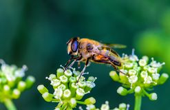 Close up photo of honey bee and green flower royalty free stock photo