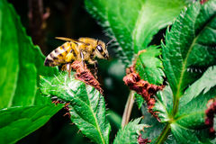 Honey Bee on a Green Leaf Stock Image