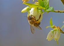 Honey Bee hängningar från en blåbärblom Royaltyfri Bild