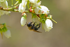 Honey Bee hangs from a Blueberry Bloom. royalty free stock photo