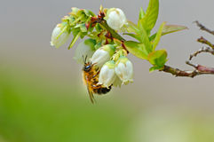 Honey Bee hangs from a Blueberry Bloom. Stock Images