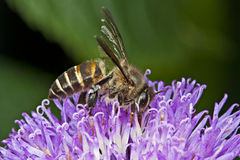 Honey Bee harvesting nectar Stock Images