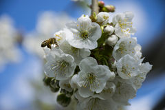 Honey And The Bee. Here's a bee looking for pollen on some cherry tree's flowers on a sunny spring day Stock Photo