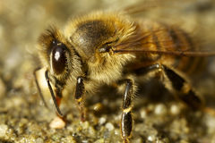Honey Bee-het drinken Stock Foto