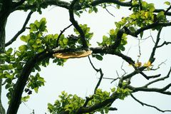 A honey bee hive in the brabch of tree Stock Photography