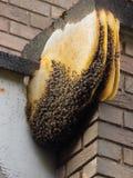 Honey Bee Hive Growing incomum no canto de uma construção fotos de stock royalty free