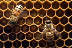 Honey Bee on the hive in Southeast Asia. Stock Photos