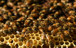 Honey Bee on the hive in Southeast Asia. Stock Photography