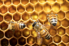 Honey Bee on the hive in Southeast Asia. Royalty Free Stock Photography
