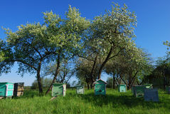Honey bee hives in spring apple garden Royalty Free Stock Images