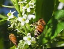 Honey Bee on a Holly Tree Blossom Stock Photos