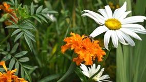 A honey bee (honeybee) is drinking nectar on a flower stock footage