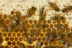 Honey, bee, honeybee, insect, entomology, beehive, colony, apiar. Bees close honey for long-term storage Stock Images