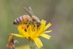 Honey Bee-hoogtepunt van stuifmeel Stock Foto
