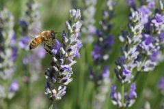 Honey bee. Bee hovering above a flower in the garden stock photos