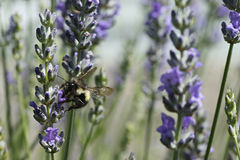 Honey bee. Bee hovering above a flower in the garden royalty free stock photography