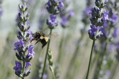 Honey bee. Bee hovering above a flower in the garden stock image