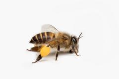 Honey Bee i vit bakgrund Arkivfoton