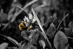 Honey Bee II. Bee gets honey from a flower Royalty Free Stock Photography
