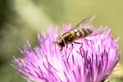 Honey Bee, Insect, Bee, Macro Photography Royalty Free Stock Images