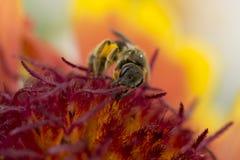 Honey Bee, Insect, Bee, Macro Photography Royalty Free Stock Photos