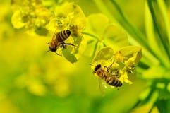 Honey Bee, Insect, Bee, Yellow stock photo